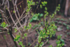 First spring green sprouts on tree branches close up. Environtment and nature care concept. Royalty Free Stock Image