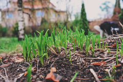 First spring green sprouts of tulips in garden. Environtment and nature care concept. Stock Photography