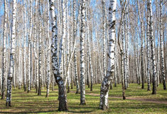 First spring greens in april birch grove Stock Photo