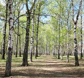 First spring greens in birch forest Royalty Free Stock Image