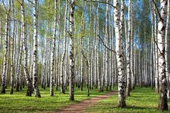First spring greens in the evening birch grove Stock Image