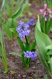 The first spring hyacinth flowers in the home garden. The first spring hyacinth flowers in the garden royalty free stock image