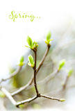 The first spring leaves Royalty Free Stock Photo