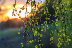 The first spring leaves of birch. On a background of the setting sun Stock Photo