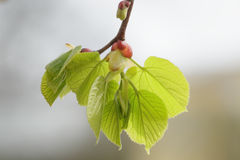 First spring linden tree leaves Royalty Free Stock Photography