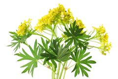 First spring  May forest uncultivated  yellow flowers with leave. S. Isolated on white studio macro shot Stock Image
