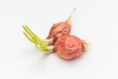 First spring onion vegetables growing Stock Images