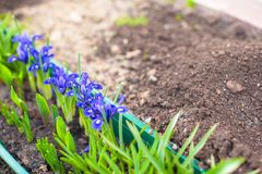 First spring purple flowers colour on ground Royalty Free Stock Image