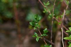 The first spring shoots and flower buds on trees in the forest. The beginning of spring. Shallow depth of field, blurred royalty free stock image