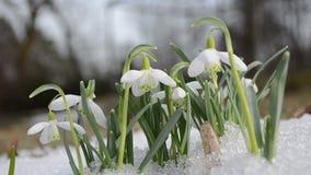 First spring snowdrop flower in snow closeup stock video