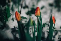 The first spring tulips flowers under the snow. It is snowing in the evening or at night. Spring card with tulips royalty free stock photography