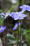 First spring violet flower snowdrop Hepatica Nobilis Royalty Free Stock Photography