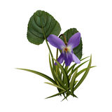 First spring violet Royalty Free Stock Images