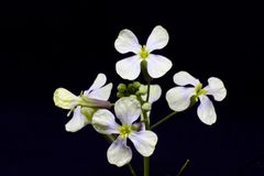 The first spring white flowers on a green stalk with buds. Isola. Ted on a black background Stock Images
