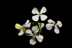 The first spring white flowers on a green stalk with buds. Isola. Ted on a black background Stock Photo