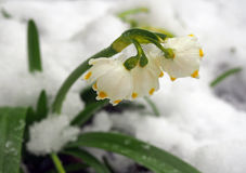 First spring white flowers in  snow Stock Image