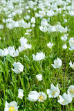 The first spring white flowers Stock Images