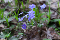 First spring wild flowers Hepatica Nobilis Royalty Free Stock Photo