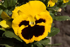 First spring yellow pansy. The first spring yellow pansy in the sunshine Royalty Free Stock Photography