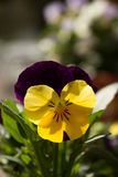 First spring yellow pansy. The first spring yellow pansy in the sunshine Stock Images