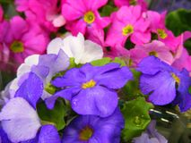 First springs flowers Primula mix colors close up. First springs flowers Primula mix colors Royalty Free Stock Images