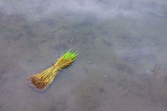 First step for transplant the rice in Thailand. Paddy sprouts prepare for transplantation on field Stock Photography