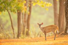 A first steps of baby fawn into the wild on summer morning, The World Heritage Site, Khao Yai National Park, Thailand. A first steps of baby fawn into the wild stock photos