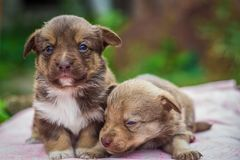 First steps of little puppies Royalty Free Stock Photos