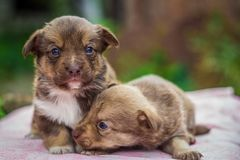 First steps of little puppies Royalty Free Stock Image