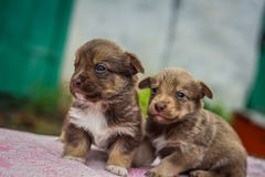 First steps of little puppies Stock Images