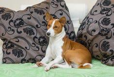 Sleepy Basenji dog Royalty Free Stock Image