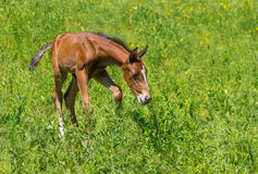 First steps of newborn foal Stock Image