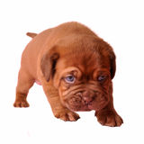 First steps of newborn puppy Stock Images