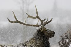 First Storm. Bachelor Bull Elk in first major snow storm of the season Royalty Free Stock Image
