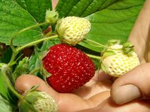 First strawberry Royalty Free Stock Images
