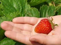 First strawberry Stock Image