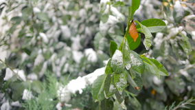 The first sudden early snow on green leaves. cold stock video