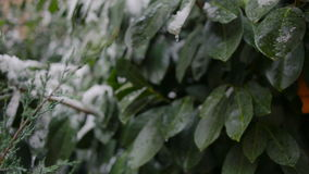 The first sudden early snow on green leaves. cold. The first sudden early snow on green leaves stock video footage