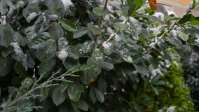 The first sudden early snow on green leaves. cold. The first sudden early snow on green leaves stock footage