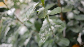 The first sudden early snow on green leaves. cold stock video footage