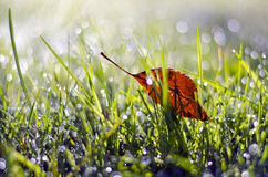 First summer end falling apple tree leaf in dewy grass Royalty Free Stock Photos