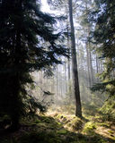 First sun in the forest. First sun rays in the black forest of germany Stock Photo