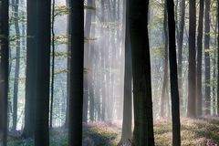 First sun light in a spring beech forest stock photos
