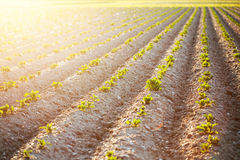 First Sun Rays over Young Potatoes Royalty Free Stock Image
