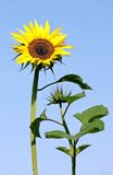 First sunflower Royalty Free Stock Photo