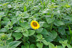 First sunflower bloom in field. A sunflower field with the first flower at bloom. The start of fall Royalty Free Stock Image