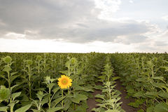 First sunflower Stock Images