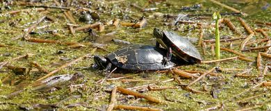 It& x27;s Spring for turtles too! Stock Photography