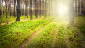 First sunrays in pine forest. Stock Photo