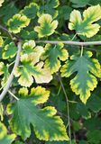 The leaves of the mulberry tree: autumn color royalty free stock image
